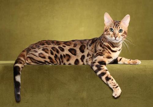 孟加拉豹猫买猫入门必读篇电子书