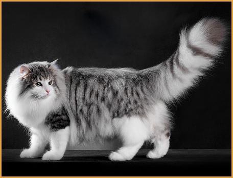 挪威森林猫品相详解电子书