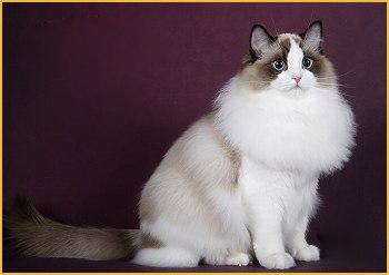 布偶猫什么颜色的最好?布偶猫哪种颜色最贵?