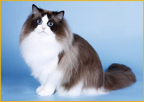 布偶猫怎么看品相?布偶猫品相鉴别_ 布偶猫品相图解