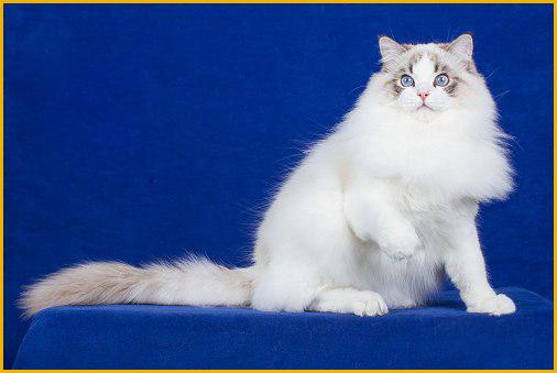 布偶猫性格好吗?布偶猫的性格是什么样的?
