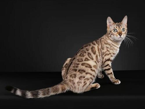 孟加拉豹猫不值钱了?