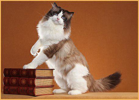 布偶猫多大开始认主人?布偶猫只忠诚主人吗?
