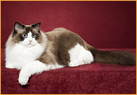布偶猫养不胖怎么办?谈布偶猫喂养技巧