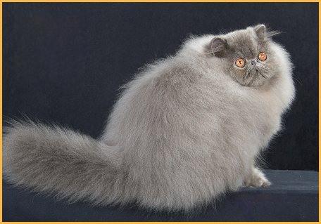 波斯猫的几个养护要点