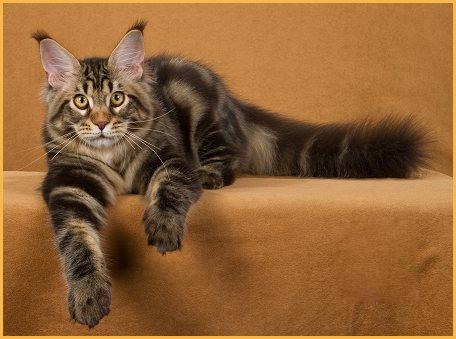 【缅因猫】养猫心得分享:缅因猫喂养过程中的猫粮选择