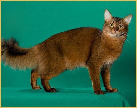索马里猫常见疾病及应对措施详解篇