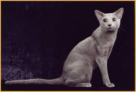俄罗斯蓝猫品相详解电子书