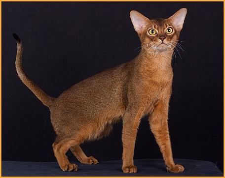 阿比西尼亚猫的形态特征如何?