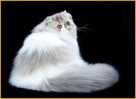 波斯猫常见疾病及应对措施详解篇