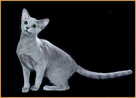 饲养短毛猫我们需要注意什么?