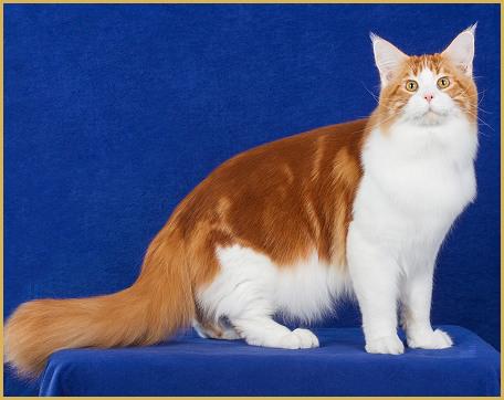 购买巨型缅因猫要花多少钱?