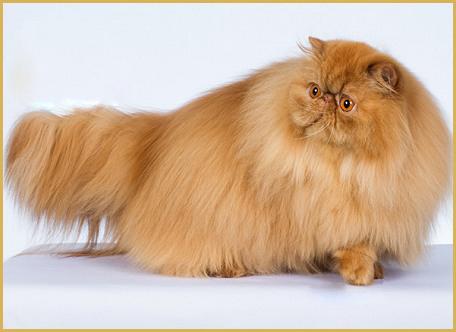 喵上校是什么猫?喵上校又是什么品种呢?
