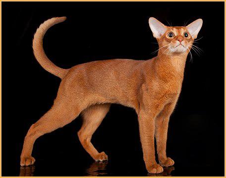阿比西尼亚猫买猫入门必读篇电子书