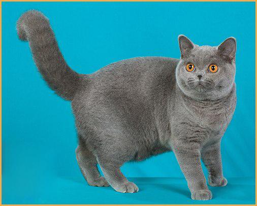 英短要多久认主人?谈英短蓝猫认主人的表示。