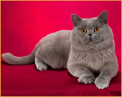 适合英短蓝猫的猫粮,英短蓝猫吃什么猫粮好?