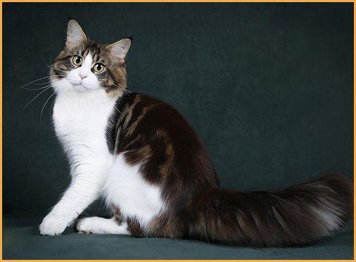 俄罗斯猫舍的缅因猫价格在1k~2k欧元左右,国外买缅因猫不难