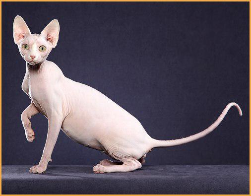 世界名宠俱乐部的斯芬克斯猫知识系列