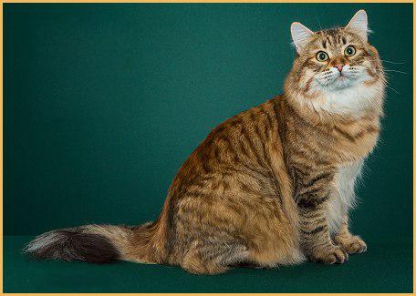 俄罗斯买西伯利亚森林猫多少钱?西伯利亚森林猫代购
