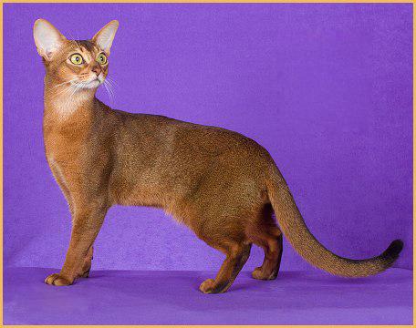 阿比猫好养,养阿比西尼亚猫的体验就是优雅且尊贵