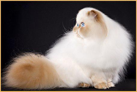 波斯猫发情的相关知识