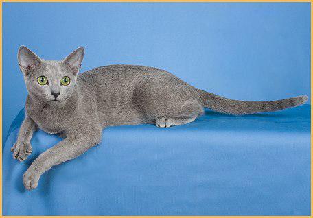 俄罗斯蓝猫买猫入门必读篇电子书