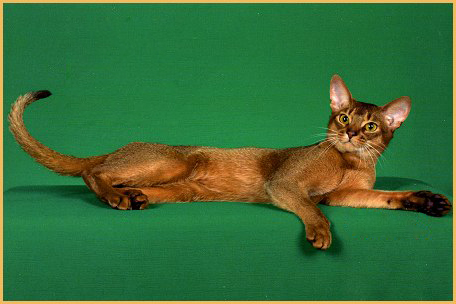 阿比西尼亚猫多少钱一只?谈阿比西尼亚猫价格