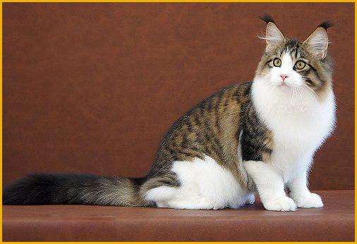 怎样识别纯种缅因猫?怎么看缅因猫的品相啊?