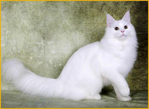 5种常见的纯色缅因猫颜色_单色缅因猫
