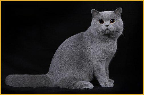 养英国短毛猫注意事项,养蓝猫攻略