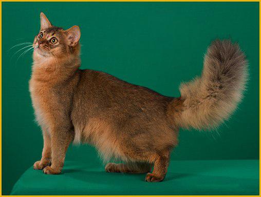 俄罗斯猫舍买猫攻略_俄罗斯带猫回国费用