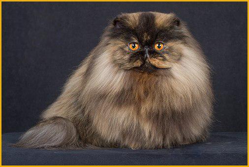 波斯猫CFA标准
