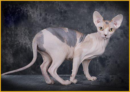 斯芬克斯美系和俄系区别,斯芬克斯猫美系俄系英系德系加系