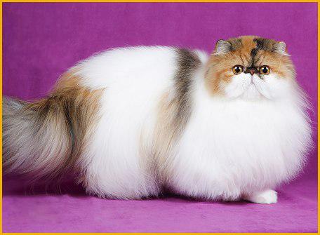 波斯猫多少钱一只?波斯猫好养吗?