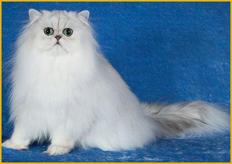波斯猫的寿命有多久
