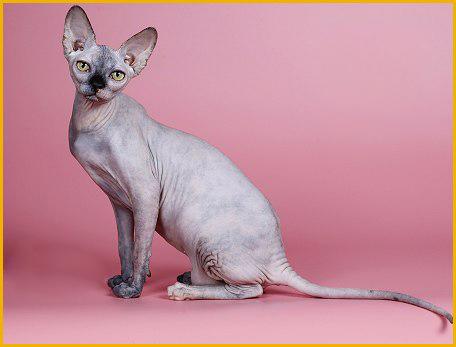 斯芬克斯猫什么颜色好_斯芬克斯猫颜色区分