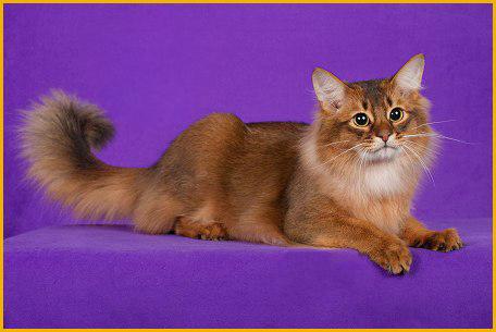 索马里猫好养吗?
