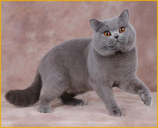 英短猫多少钱一只?谈英国短毛猫价格