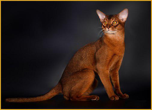 阿比西尼亚猫各种颜色,谈阿比西尼亚猫原始色