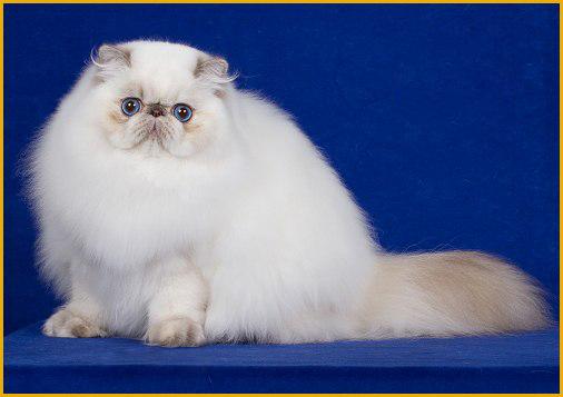 白色波斯猫的价格是多少?