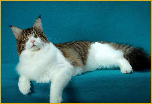 美系缅因猫与俄系缅因猫的区别