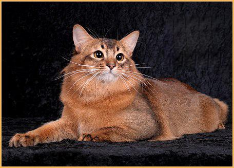 索马里猫的养护知识