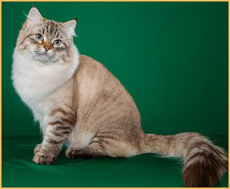 西伯利亚森林猫回新家注意事项篇