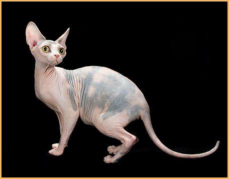 斯芬克斯猫专业喂养方式详解篇