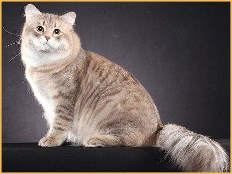 西伯利亚猫颜色,谈西伯利亚森林猫的颜色分类