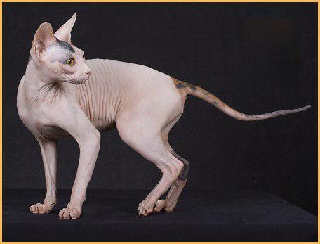 纯种斯芬克斯猫价格_斯芬克斯无毛猫_斯芬克斯多少钱一只