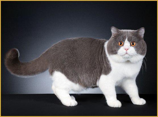 英国短毛猫有几种品种?谈英短有哪些品种