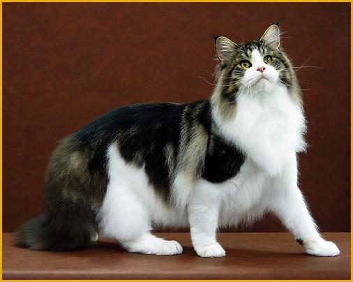 国内缅因猫体型小?缅因猫正常长多大?