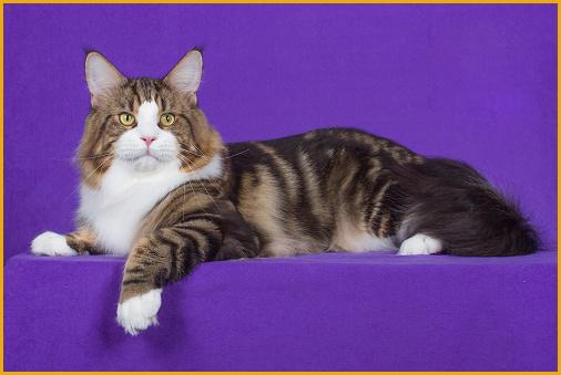 《缅因猫和狸花猫的区别》