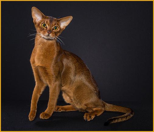 阿比西尼亚猫好养吗?阿比西尼亚猫可以遛吗?
